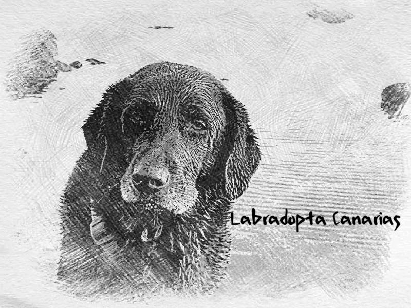 Labradopta Canarias, rescate, adopción y acogida del labrador