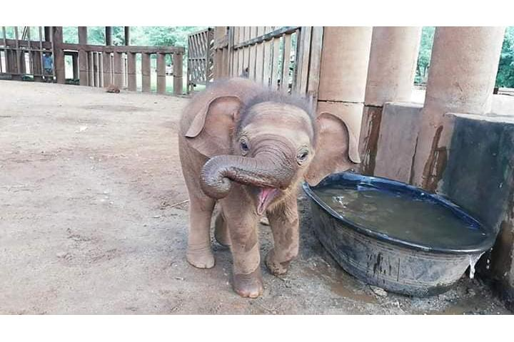 Wan Mai, baby elephant girl rescued by Lek Chailert at ENP