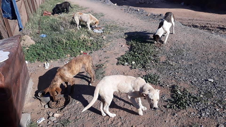 Les chiens errants de Oued Ykem