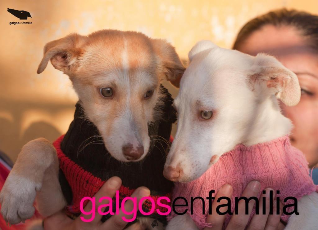 GALGOS EN FAMILIA