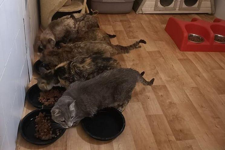 Ayuda a gatos con calcivirus felino Gatos Ancat Badajoz