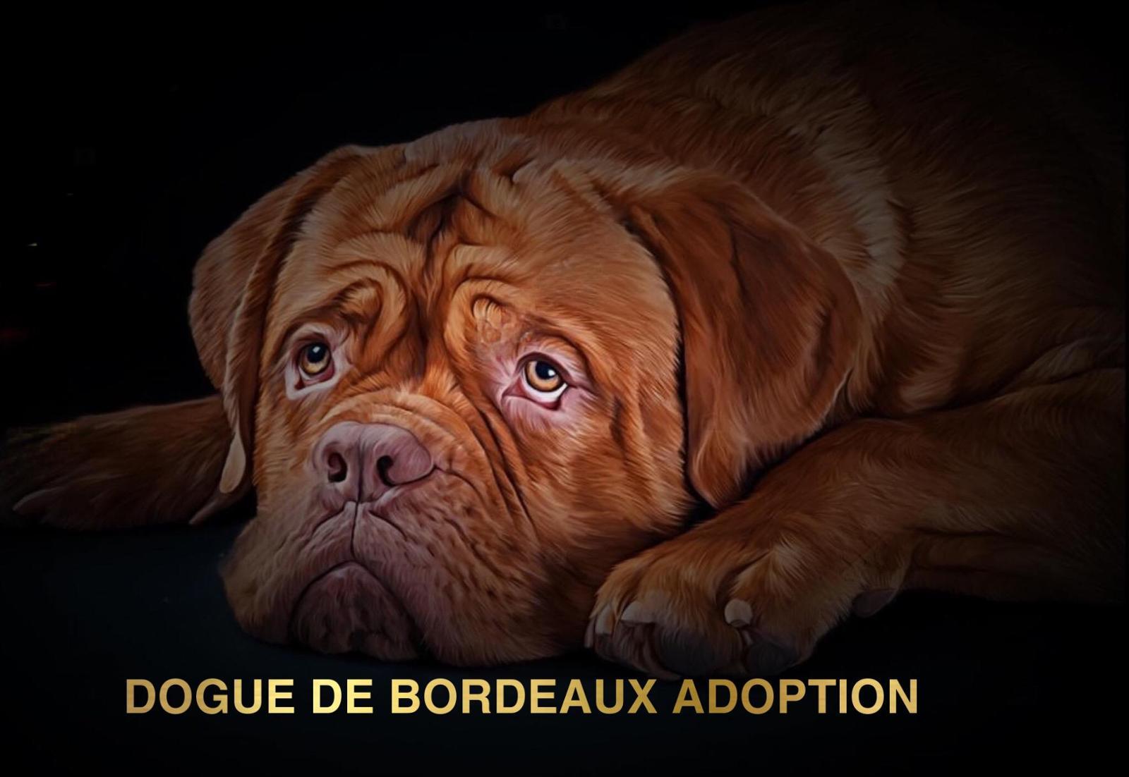 Dogue de bordeaux adoption
