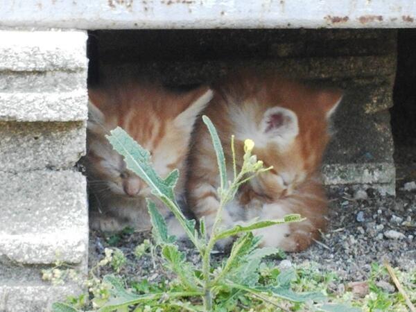 Los Gatos que no ronronean