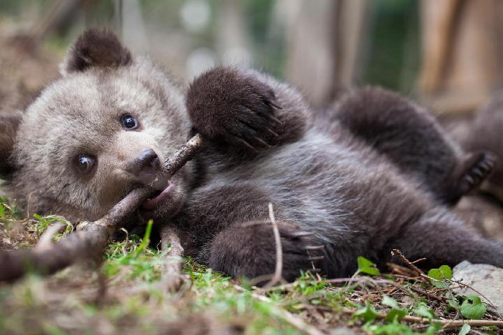Bear Again - Orphan Bear Rehabilitation Center