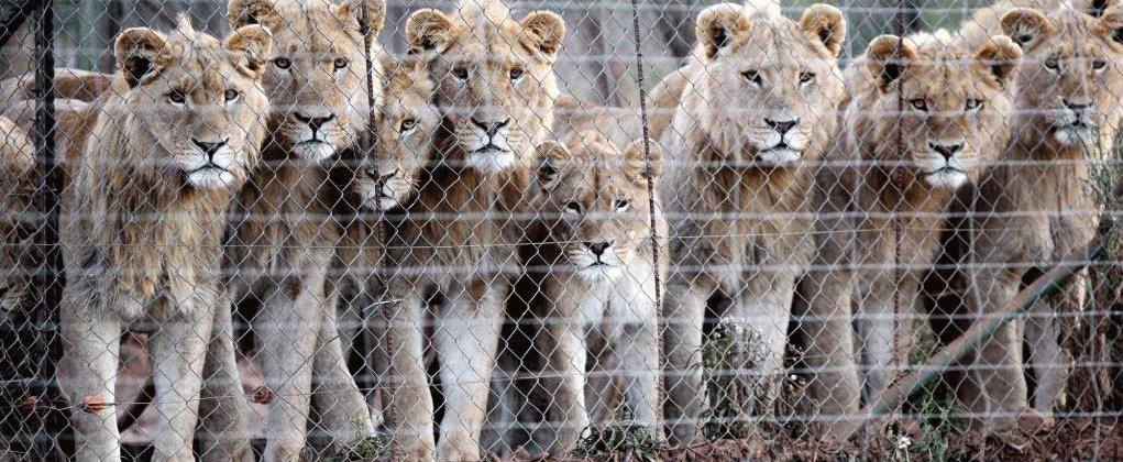 Lion's Roar - Stop Canned Hunting
