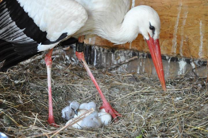 Stork Rescue in Austria