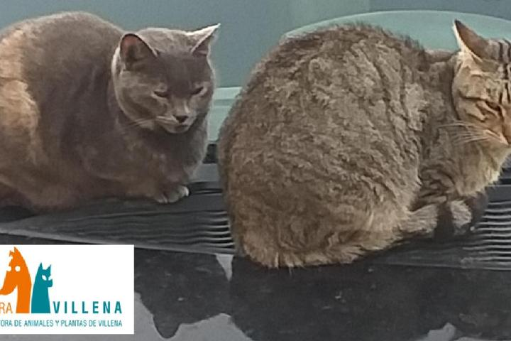 SPAP VILLENA --- Rehabilitar gatos de la calle