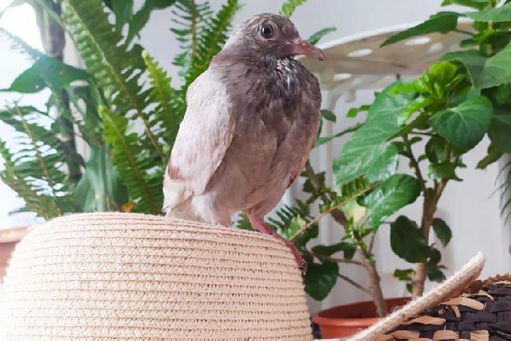 Barcelona pigeon Rescue