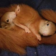 Eichhörnchen Schutz e.V.