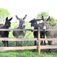 Heehaws For the Love of Donkeys
